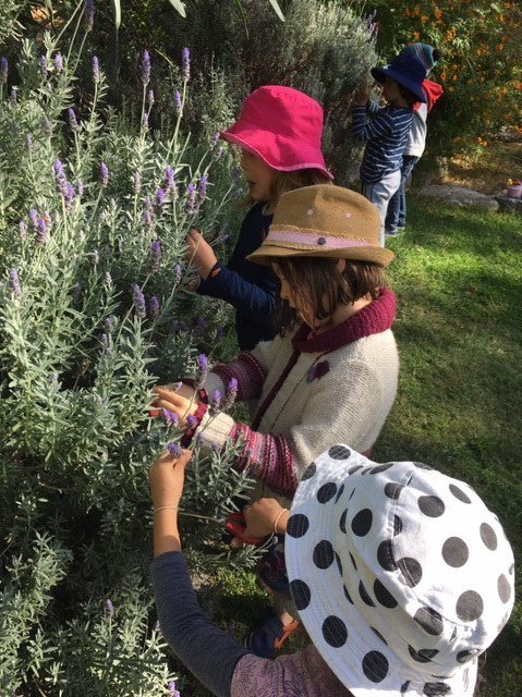 Little Kindy harvest lavender