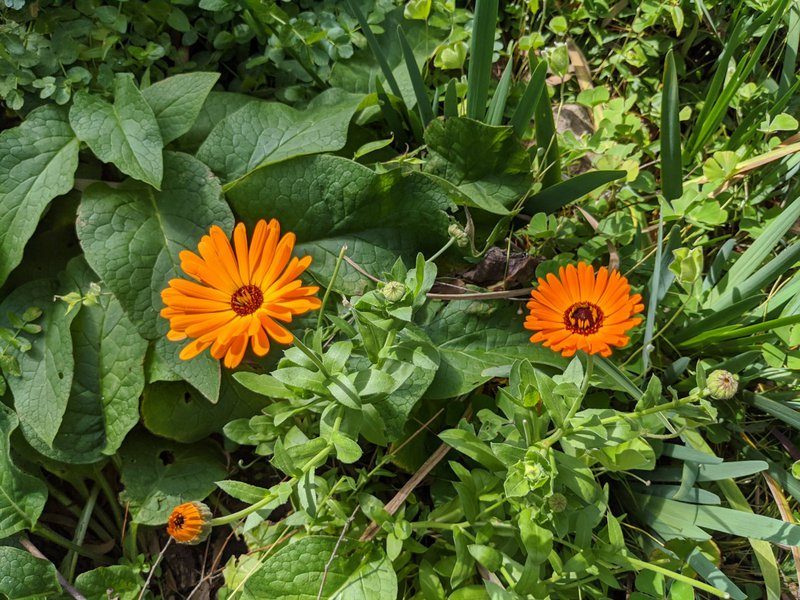 Calendula bursting with colour