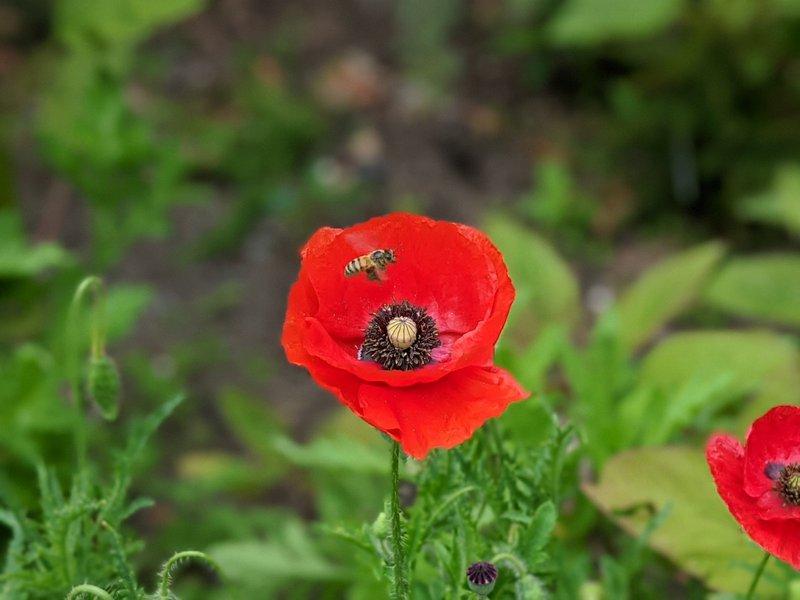 Poppies at Castlecrag