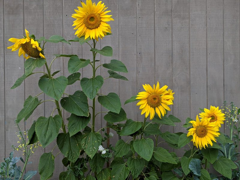 The Science of Sunflowers - Class 1