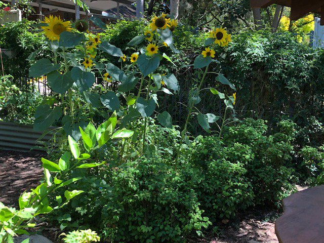Happy sunflowers bring joy to our Preschoolers