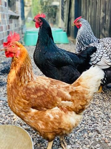 Much eggcitement for new chooks at Middle Cove