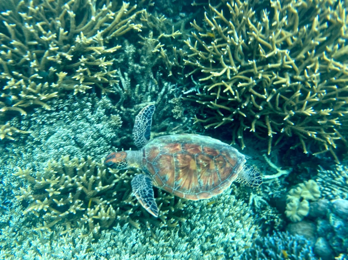 Turtle on Moore Reef